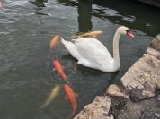 天鵝跟肥鯉魚